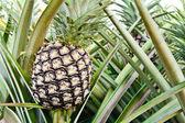Planta de abacaxi — Foto Stock