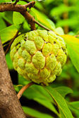 Fresh sugar apple on tree — Stock Photo
