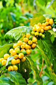 Coffee beans on tree in farm — Stock Photo