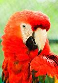 Beautiful red macaw close up — Stock Photo