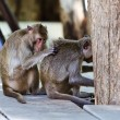 Monkey searching for bugs — Stock Photo #32012871