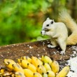 Стоковое фото: White albino squirrel eating food
