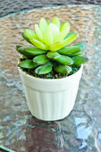 False cactus plant made by rubber tree in white pot on glass tab — Stock Photo