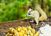 White albino squirrel eating food — Foto de Stock
