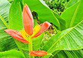 Beautiful banana flower — Stockfoto