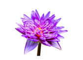 Purple water lily. isolated on white background — Stock Photo