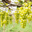 Green grape on vine — Stock Photo