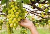 拿在葡萄园的葡萄抚育的手 — 图库照片
