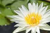 White Lotus in the garden - pathumthanee Thailand — Stock Photo