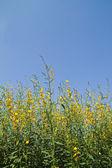 Flor amarillo y el azul del cielo — Foto de Stock