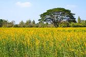 Big tree in the yellow flower farm — Stock Photo
