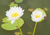 White Lotus in the garden - pathumthanee Thailand — Stock Photo