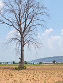 Dead Big Tree in farm and Blue Sky Background — Stock Photo