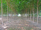 Para rubber tree garden in North East of Thailand — Stock Photo