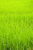 Green young rice in paddy field,North East,Thailand — Stock Photo