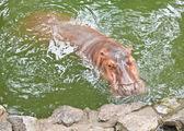 Nijlpaarden tonen grote kaak en tanden — Stockfoto