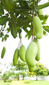 Green Mango with leaves on tree — Stock Photo