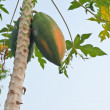 Papaya tree — Stock Photo #32110317