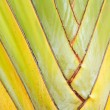 Texture of Traveller's tree or Banana Fan — Stock Photo