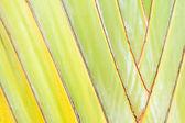 Texture of Traveller's tree or Banana Fan — Stock Photo