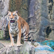 Sumatran tiger — Stock Photo #32224069
