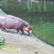 Stock Photo: Hippopotamuses