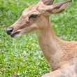Beautiful deer closeup — Stock Photo #32224377