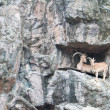 Stock Photo: Brown mountain goat