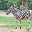 Zebra — Stock Photo #32224511