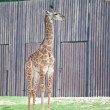 Young Giraffe — Stock Photo