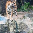 Stock Photo: Sumatran tiger