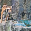 Sumatran tiger — Stock Photo #32226137