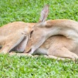 Stok fotoğraf: Deer reclining on grass