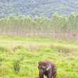 Elephant in the wild,Thailand — Stock Photo