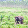 Stock Photo: Elephant in the wild,Thailand