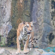 Sumatran tiger — Stock Photo #32226603