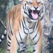 Sumatran tiger — Stock Photo #32226647