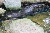 Paring van kaaiman krokodil in water — Stockfoto