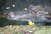 Krokodýl Kajman ve vodě — Stock fotografie