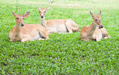Beautiful deer reclining on green grass — Stock Photo