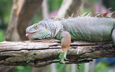 Green iguana on wood — Stock Photo