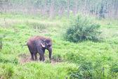 Elephant in the wild,Thailand — Stock Photo