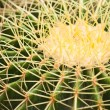 Cactus close up — Stock Photo #32287655
