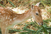 Young fallow deer close up — Stock Photo