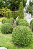 Beautiful dwarf tree in the garden. — Stock Photo