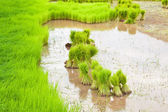 Paddy rice in field — Stockfoto