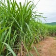 Sugarcane and road to the plant. — Stock Photo