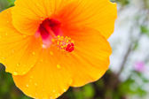 Hibiscus,Tropical flower — Stock Photo