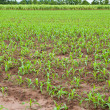Young corn plants and sugarcane plant background — Stok fotoğraf