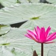 Pink water lily with leafs as background over water — Stock Photo